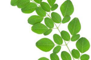 Công dụng của cây chùm ngây - kháp phá mới giúp bạn có sức khỏe tốt hơn