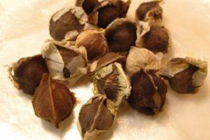 3 hướng công dụng lớn của hạt cây chùm ngây