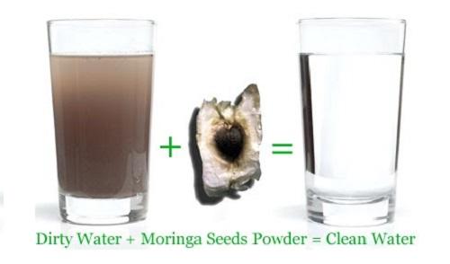 Công dụng của hạt cây chùm ngây giúp trong nước