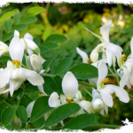Cách trồng cây chùm ngây và cách chăm sóc cây qua từng giai đoạn