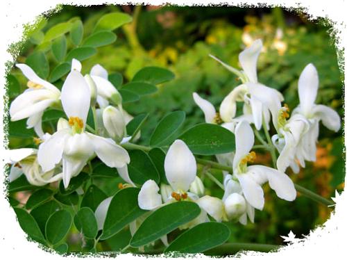 Hoa cây chùm ngây