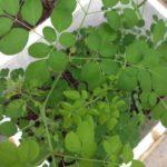Cách trồng rau chùm ngây trong thùng xốp