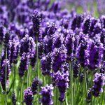 8 Lợi ích tuyệt vời của tinh dầu oải hương