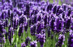 Hoa oải hương hay còn gọi là hoa Lavender