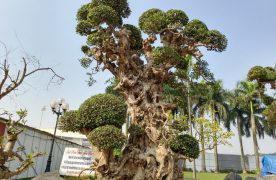 Cây Duối thân gỗ, có thể cao từ 4 – 8m