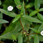 5 Cách chữa viêm xoang bằng cây cỏ mực hiệu quả cao nhất