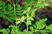 Cây chùm ngây là cây gì và được phân bố ở những đâu?